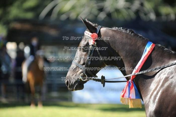 eyecatching, quality ponyclub/showhorse