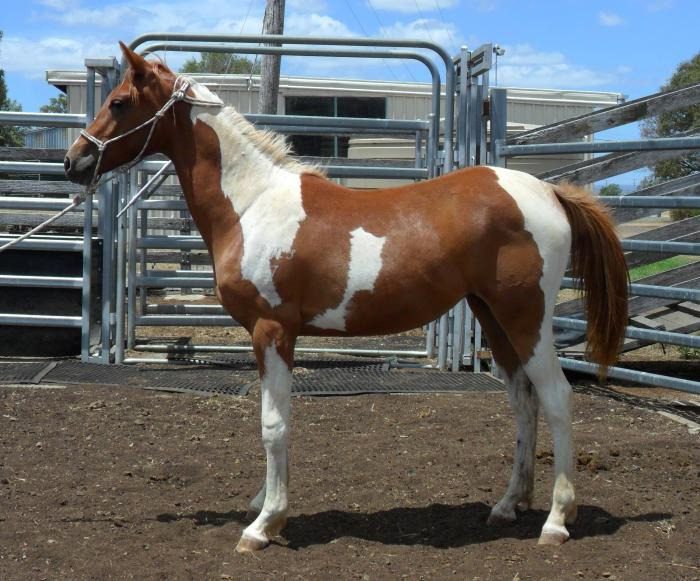 Tobiano Part Arabian (75%) Yearling Filly