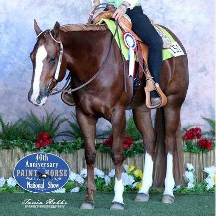 HMF LOOCHETTA Paintbred Mare, Hunter/ WP / Trail