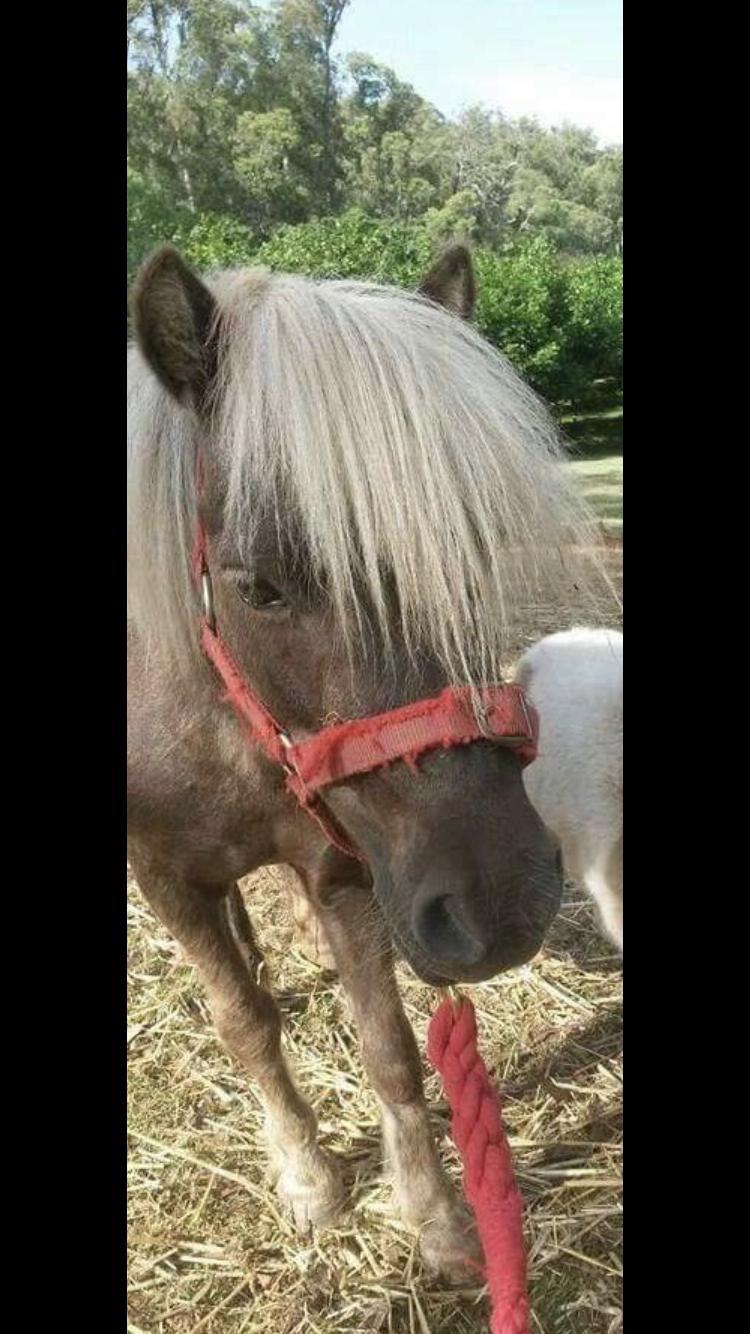 Mini pony mare