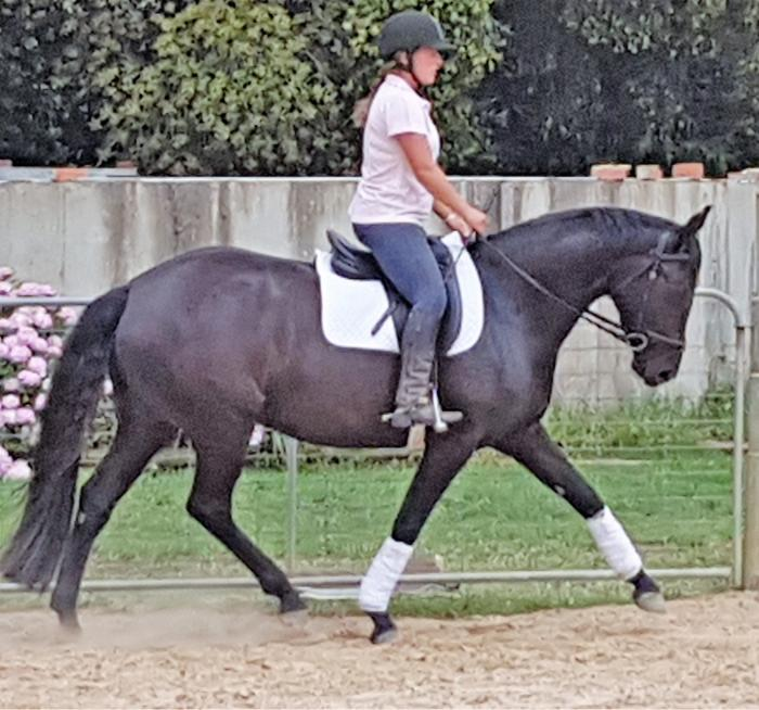 Modern elegant young warmblood