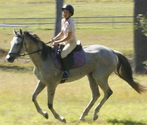 LOVELY GREY TB ALL ROUNDER MARE gorgeous to ride