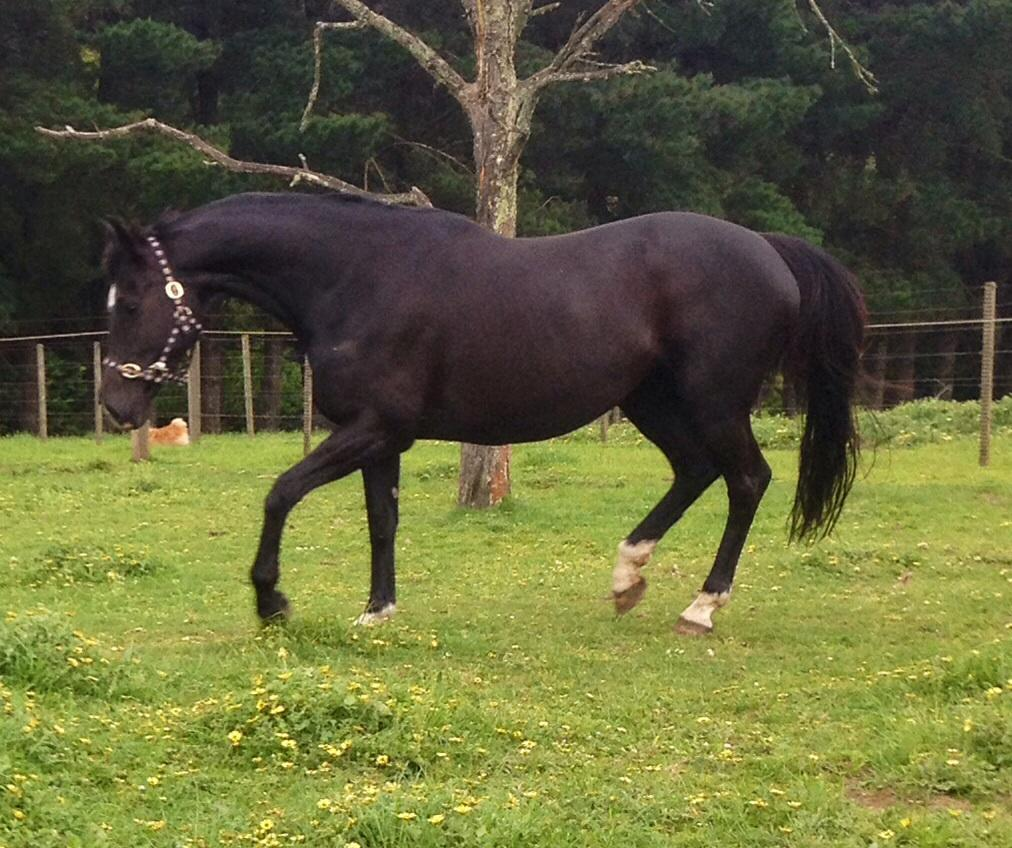 Jive Magic black mare