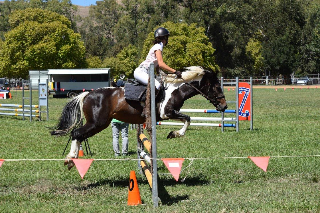 Showjumping Pinto Pony Mare