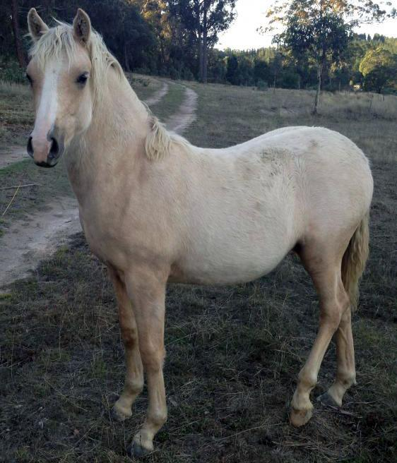 Palomino Mare with Filly Foal at foot