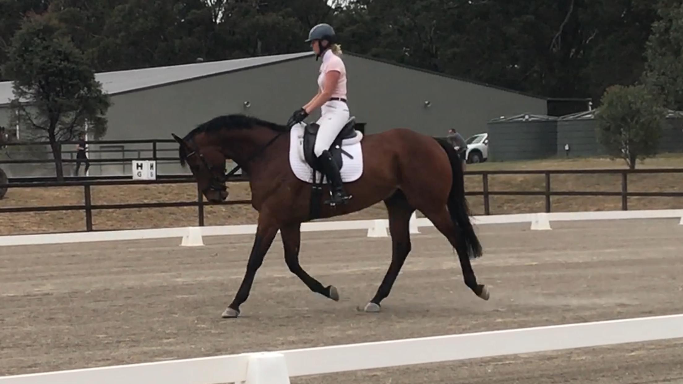 Huge Eventer/ Dressage or Hunter prospect