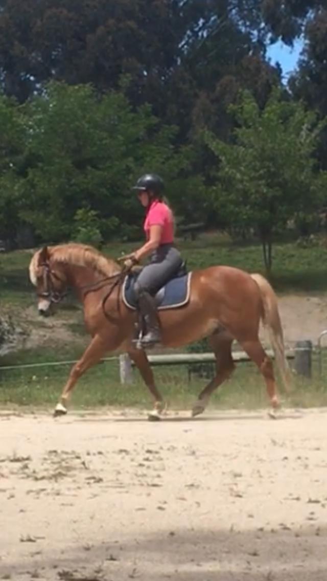 Stockhorse x pony
