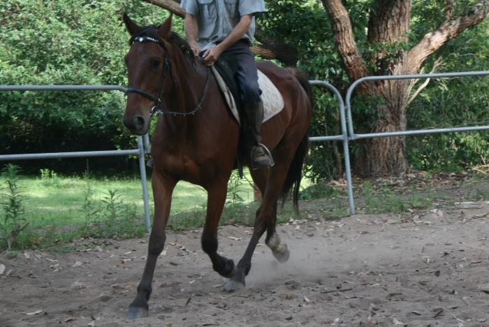 """Reddy"" Calm and Gentle Standardbred Gelding"