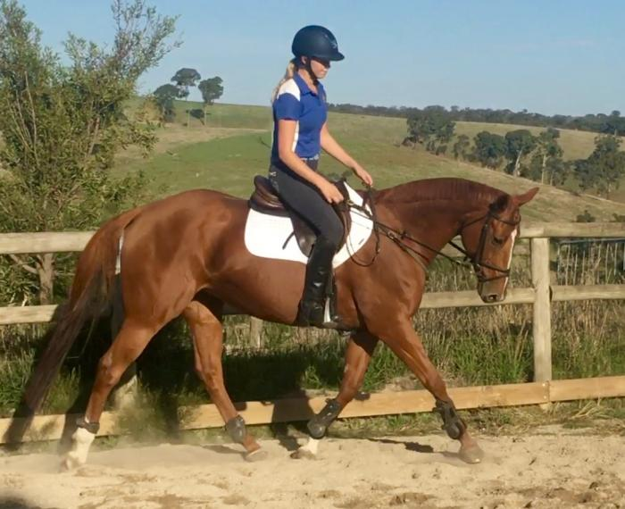 PRICE REDUCED - Attractive Chestnut Mare