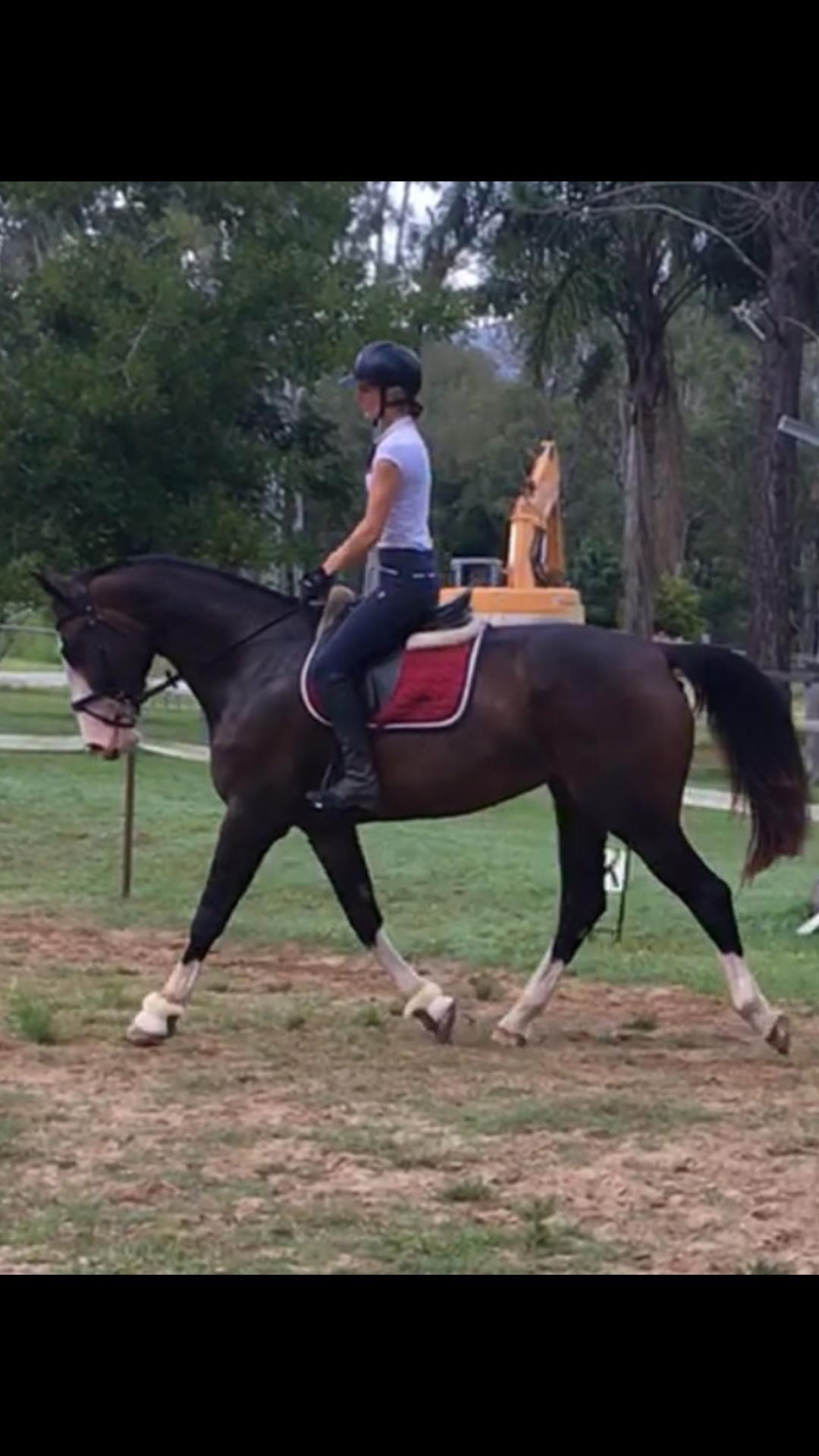 Stunning 4 yr old warmblood mare