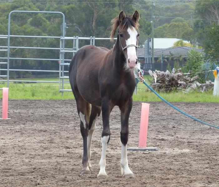 Gorgeous Clydesdale Cross 8 mth old Filly