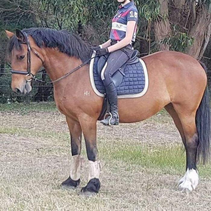 Quiet clydie cross mare $4000