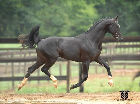 Don De Marco Oldenburg Stallion For Sale