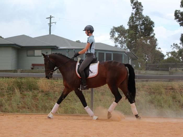 Young Dressage Horse with Temperament and Ability