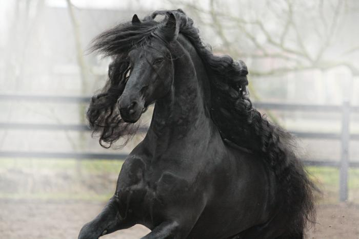Gypsy Cob x Clydesdale in foal Friesian Stallion