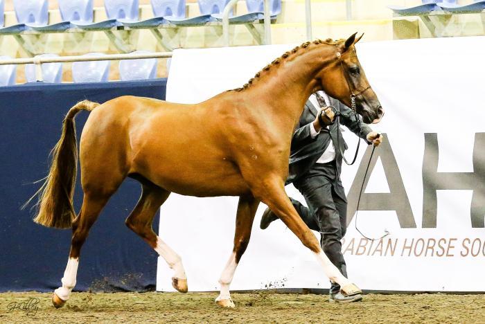Pure Arabian of great bloodline