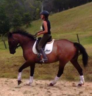 6 YO Warmblood Gelding