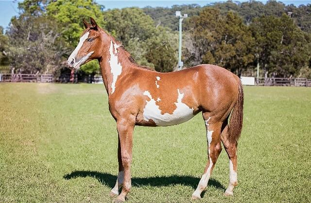 Coloured Warmblood Filly