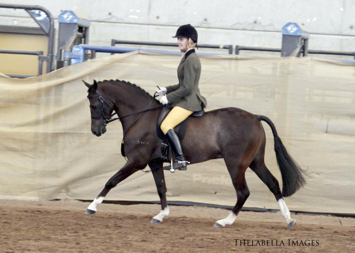 Show/Dressage Superstar