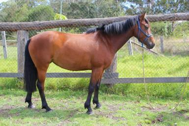 Beautiful friendly brumby mare