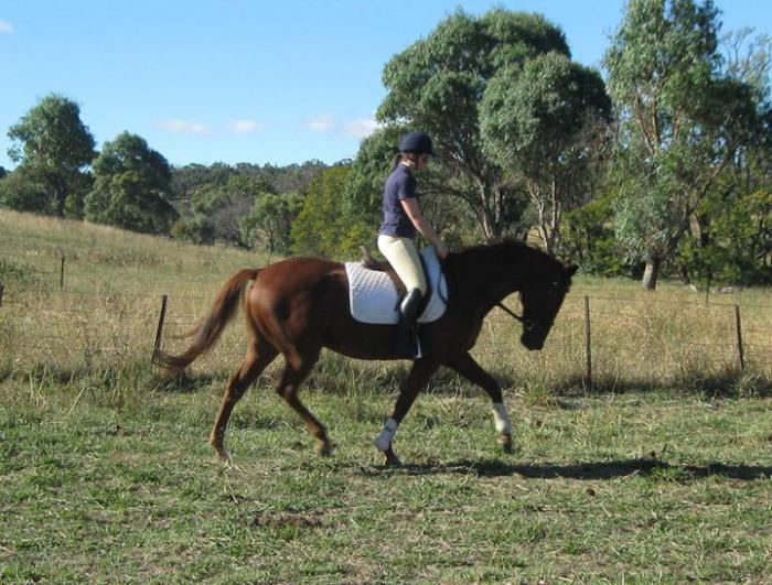 Looking for a sweet gelding for dressage/showing?