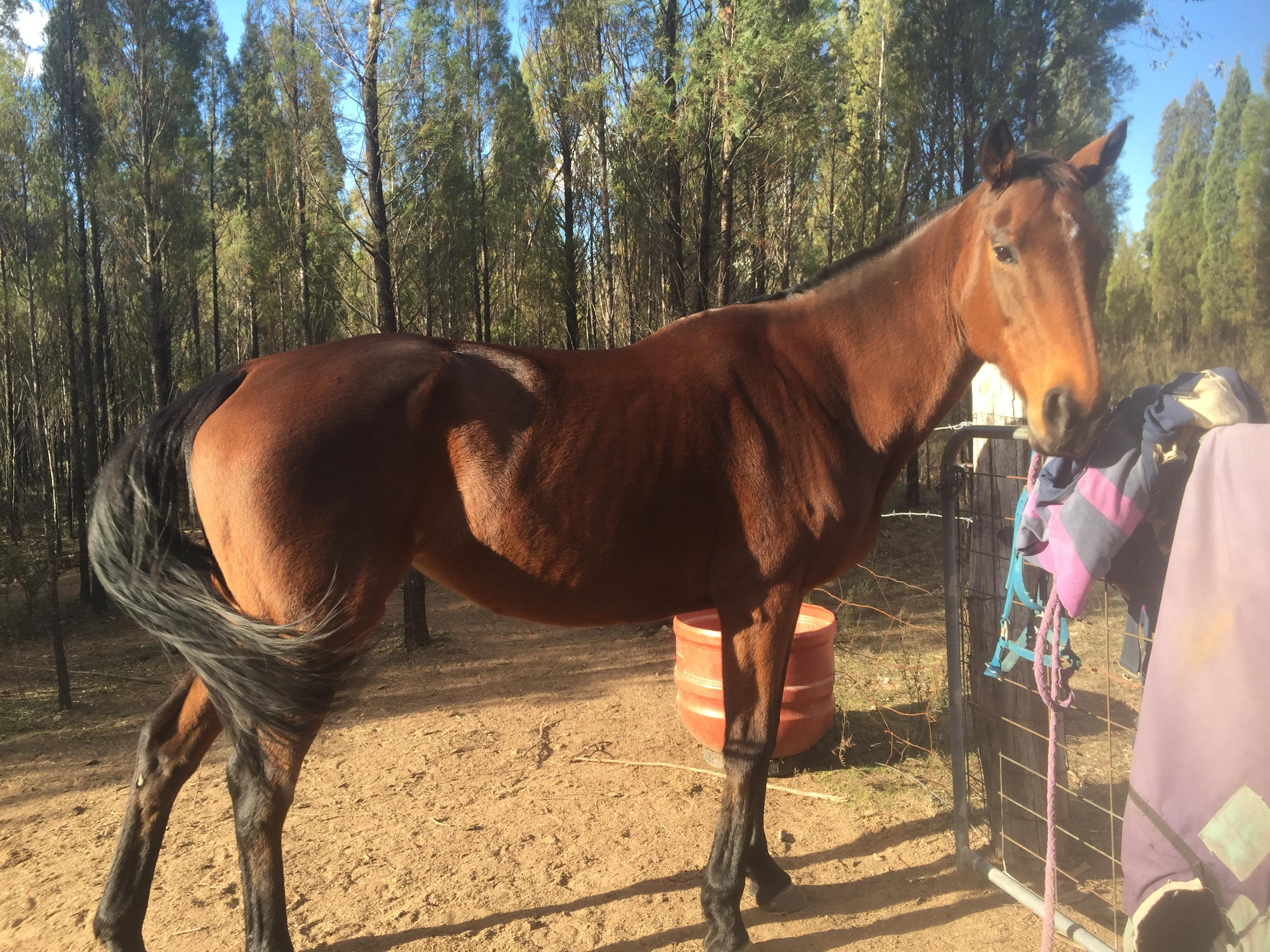 12yr old Stock Horse amare