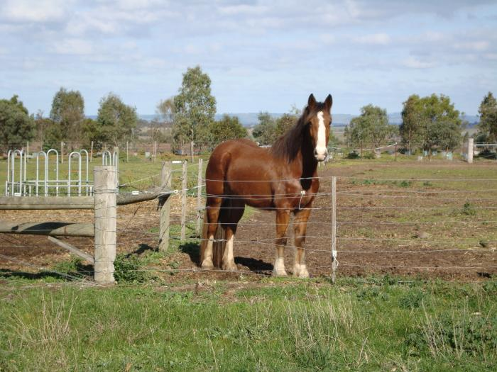 clydesdale/stockhorse filly