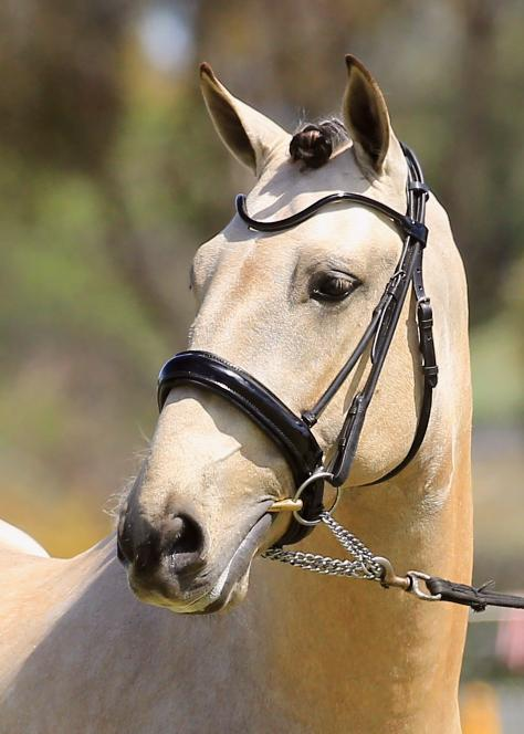 Buckskin Lusitano Dressage & Working Equitation