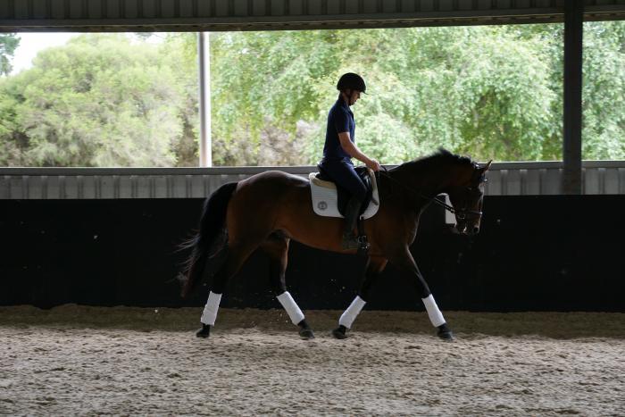 Experienced stock horse schoolmaster