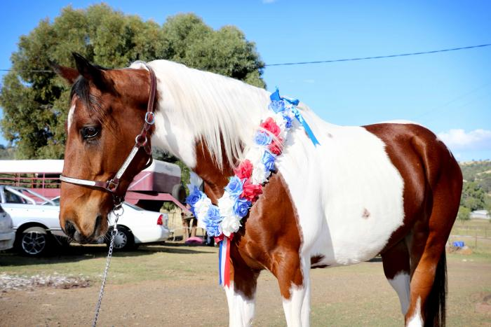 Beautiful bay and white Gelding ++VIDEO++