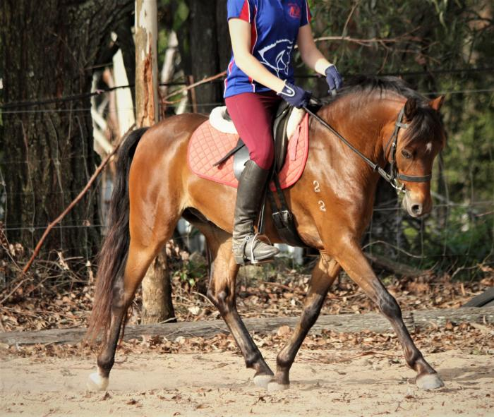 Registered Australian Pony Gelding.
