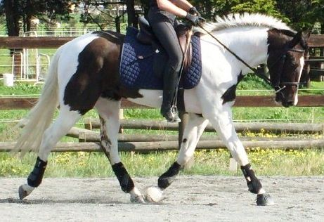 Absolute Stunner 16 hands 6 yrs Gelding