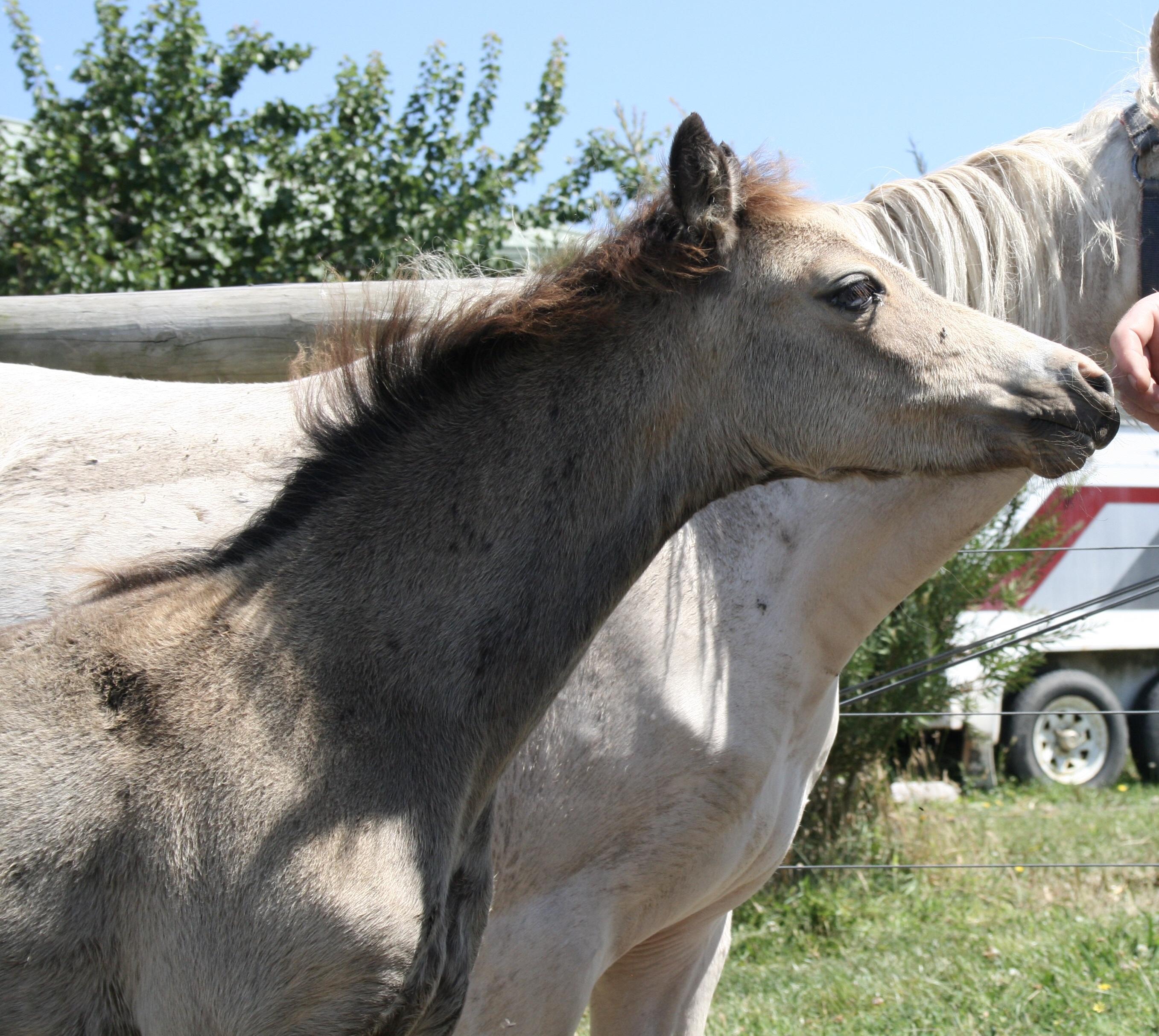 Buckskin Welsh filly