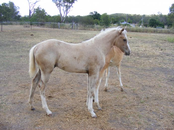 Palomino Paint Bred Colt