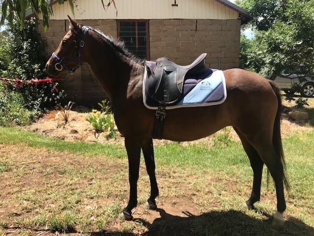 Registered Riding Pony