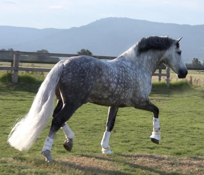 Imported Spanish FEI Dressage Stallion