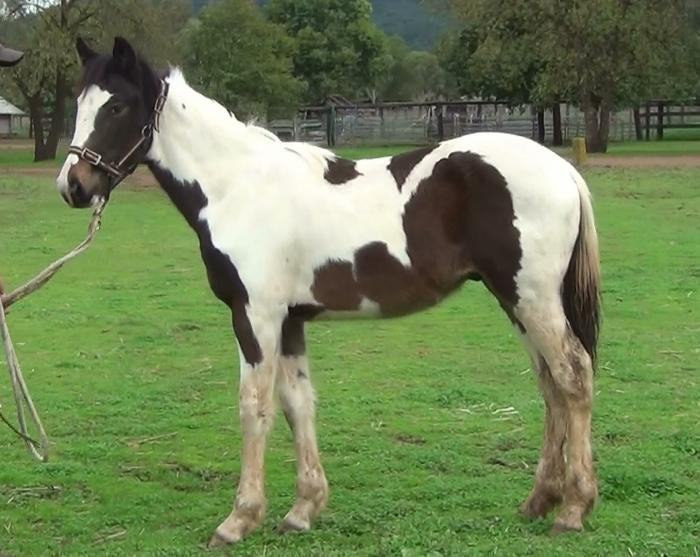 Coloured Clydesdale X Colt