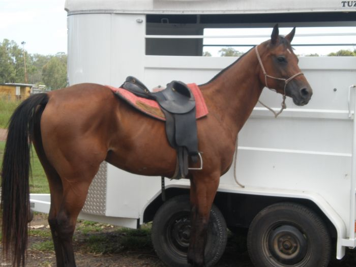 8Yr old Quarter Horse Mare