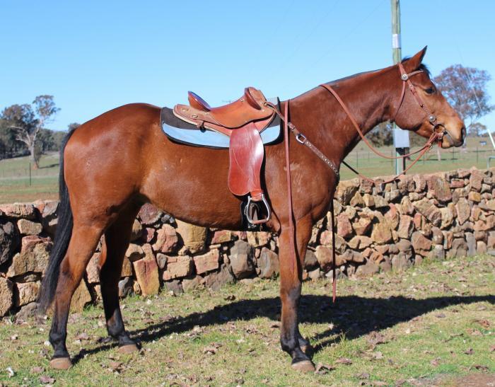 Registered Stock Horse Gelding