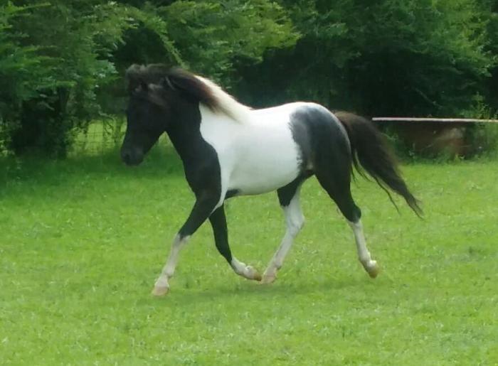 Beautiful little horse gelding