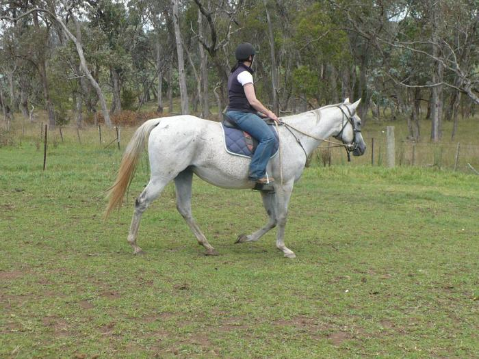 Quiet Grey ASB TB Mare