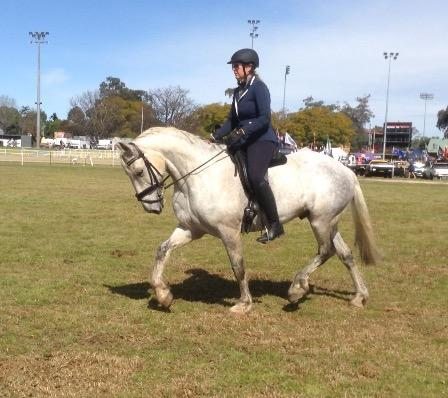 Competitive dapple grey Clydesdale cross