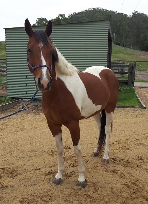 Beautiful Paint Gelding
