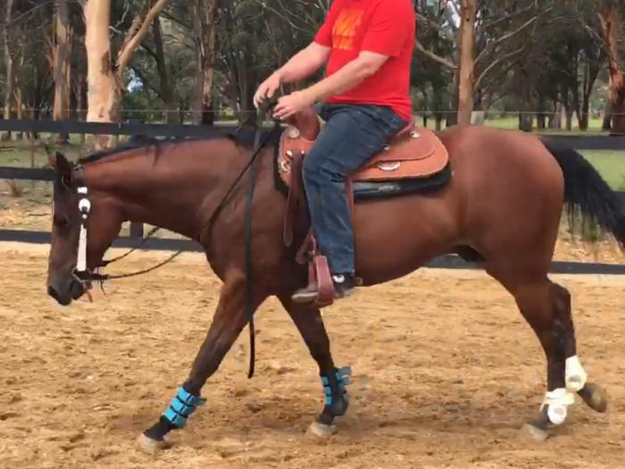 Well Performed 4YO QH Gelding