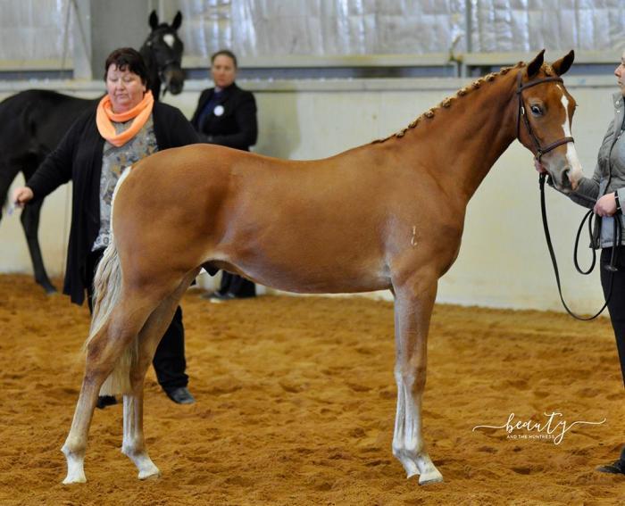 Pony dressage / Show Hunter Pony prospect