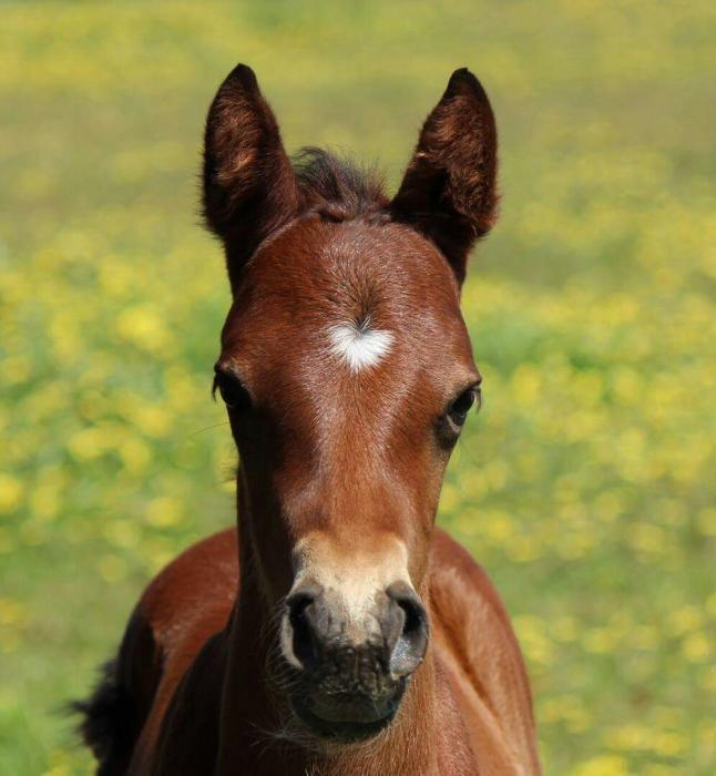 POWERBOY German Riding Pony, Dressage Pony Gelding