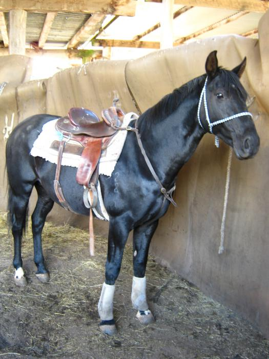 Weanling Brown Stock Horse