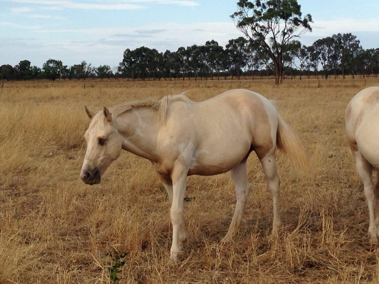 Reg PHAA Tobiano Yearling Colt
