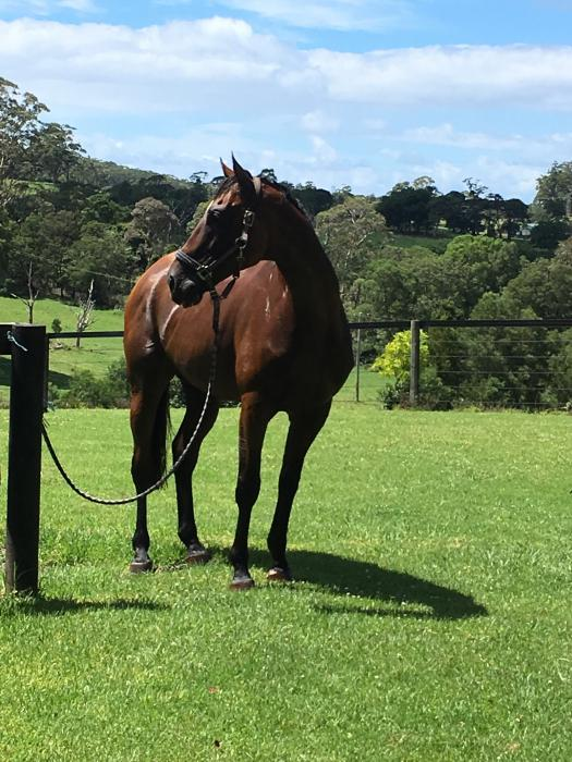 Gentle Giant - Redoutes Choice Gelding