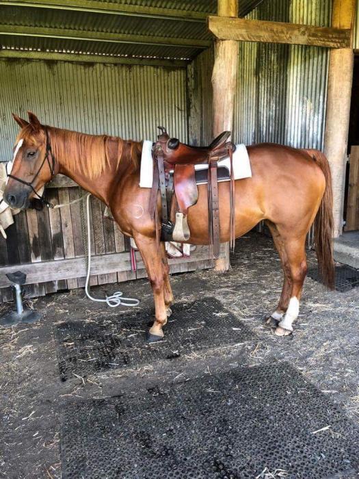 Quiet chestnut Quarter horse Mare